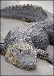 florida-alligator1